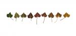 Colour Analysis Burnet Rose (individual plant)