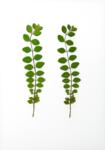 Eeuwig Herbarium #38